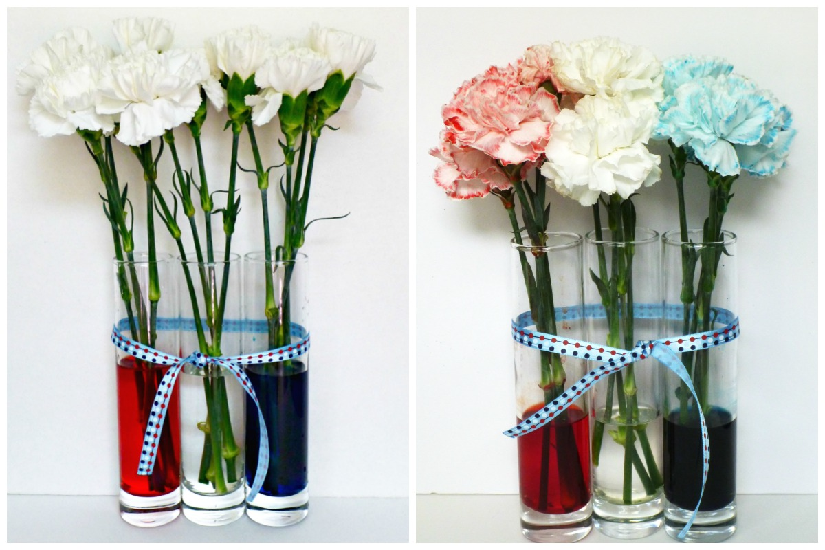 color changing carnations science experiment for kids